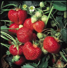 Strawbery Patch